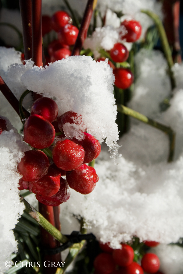 Berries in the Snow.jpg