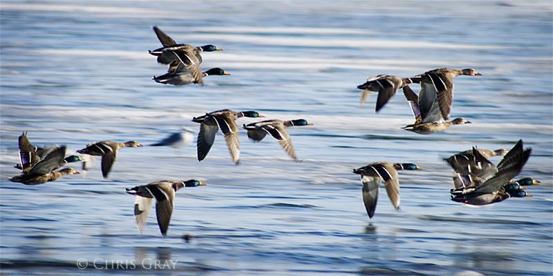 DuckFlight.jpg