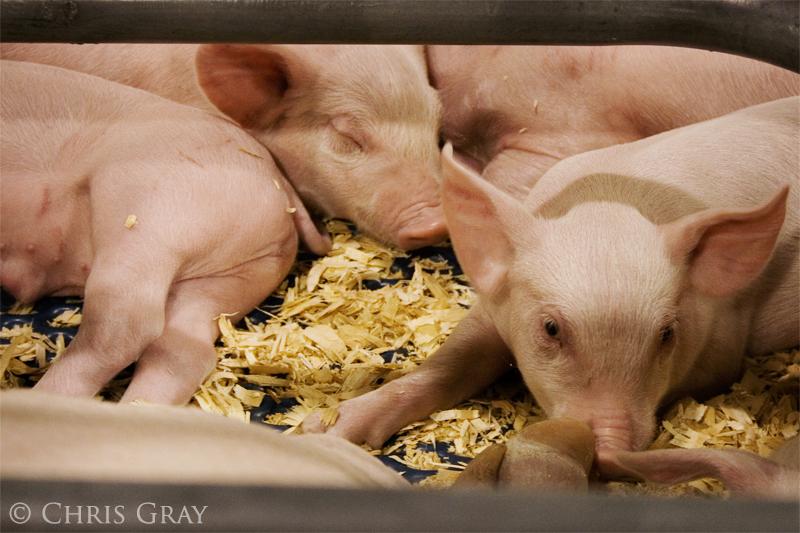 Piggies!.jpg